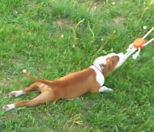 playful pit bull